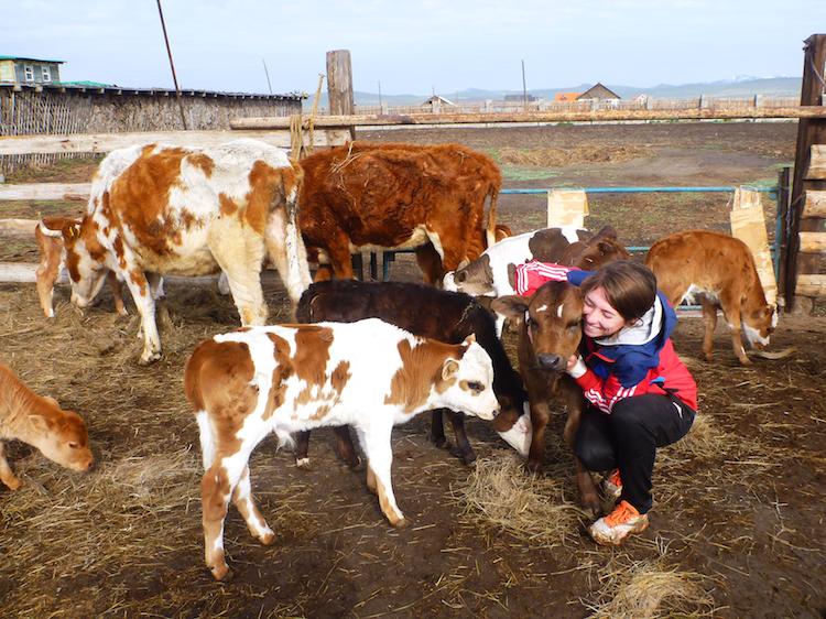 Mongolia cows farm