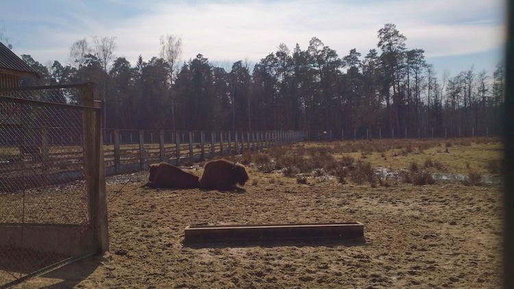European Bison Belarus Belovezhskaya Pushcha National Park